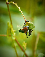 "Japanese Beetles eating the hated ""Mile-a-Minute"" vine in my backyard wildflower meadow. Summer nature in New Jersey. Image taken with a Nikon 1 V3 camera and 70-300 mm VR telephoto zoom lens (ISO 400, 300 mm, f/5.6, 1/500 sec)"