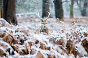 UNITED KINGDOM, London: 23 January 2019 A red deer stands amongst a frosty Richmond Park in London this morning. Temperatures sunk to below freezing yesterday causing snow flurries across the country. <br /> Rick Findler / Story Picture Agency