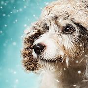 Jack Russel Terrier, animal photo, dog picture, pet photographer, dog photographer, LA headshot, LA studio photographer, LA dog photographer,