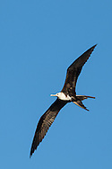 Magnificent frigatebirds can be seen in the sky over Puerto Vallarta, Mexico
