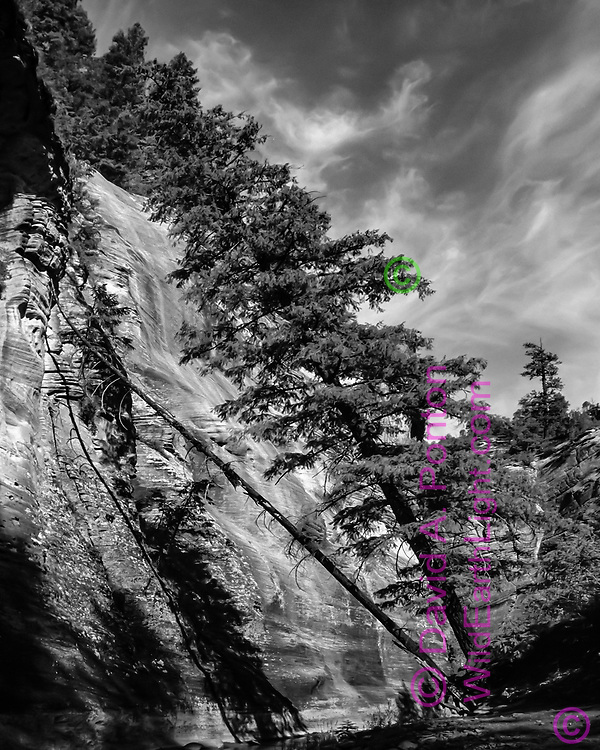 A large Douglas fir tree has leaned toward a sandstone cliff as the  North Fork of the Virgin River has undermined it roots during flood stage, with the dead trunk of a companion in a later stage of the same fate. © 1990 David A. Ponton