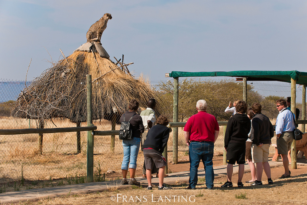 Tourists observing cheetah, Acinonyx jubatus, Cheetah Conservation Fund, Namibia