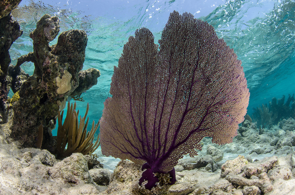 Common Sea Fan (Gorgonia ventalina)<br /> Lighthouse Reef Atoll<br /> Belize<br /> Central America