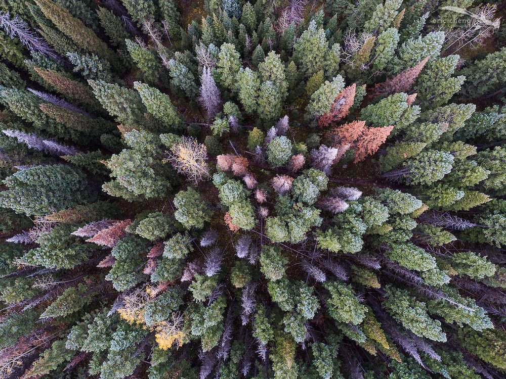 Aerial view, straight down, of pine trees in Aspen, Colorado. DJI Inspire 1 Pro and Zenmuse X5, Olympus 12mm lens.