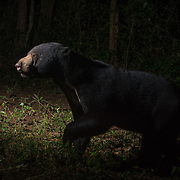 The sun bear (Helarctos malayanus) is a bear found in tropical forest habitats of Southeast Asia. The global population is thought to have declined by more than 30% over the past three bear generations.