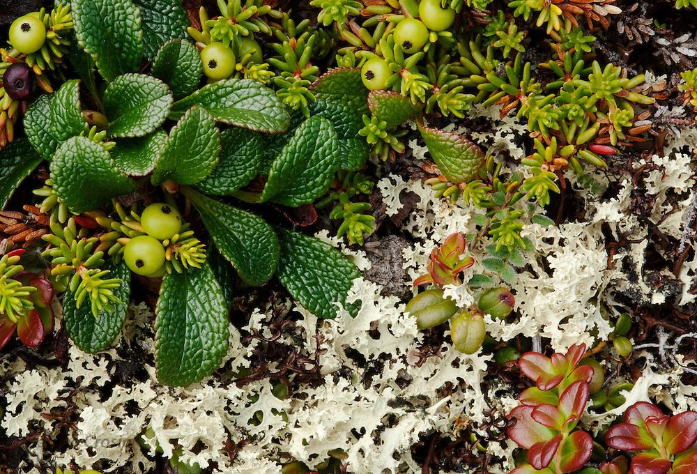 CANADA, Nunavut.Tundra lichens
