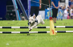 Terrier racing during A Dogs' Day Out at Traquair House, Innerleithen. pic copyright Terry Murden @edinburghelitemedia