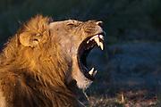 Lion (Panthera leo), Savute Channel, Linyanti, Botswana.