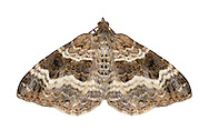 70.061 (1738)<br /> Common Carpet - Epirrhoe alternata