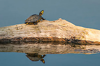 The yellow-bellied slider is the most common freshwater turtle found in the American Southeast. Because they remain relatively small and are very hardy, they are very popular in the pet industry. This one was photographed just outside of Dothan, Alabama on the Chattahoochee River.