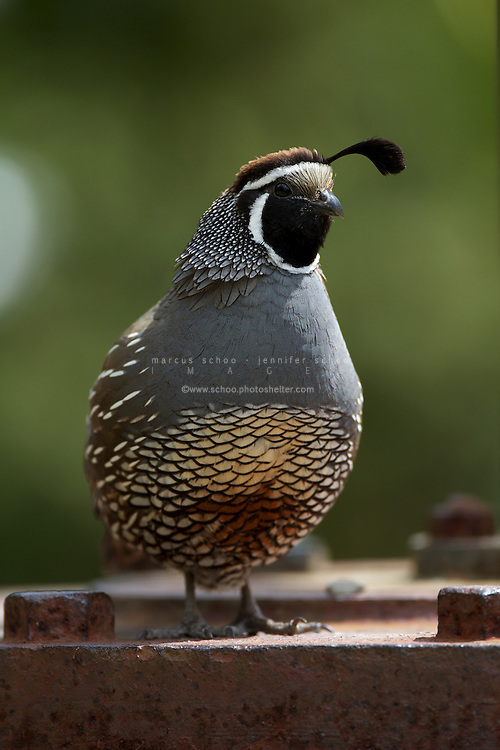 The California Quail or Valley Quail (Callipepla califonica) was introduced to New Zealand in the 1800s. While not native to New Zealand, this male California Quail is a resident at Wellington's Karori Sanctuary (Zealandia).