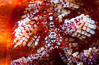 A pair of Coleman Shrimp amongst the stinging spines of a Fire Urchin<br /> <br /> Shot in Indonesia