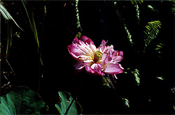 2001 September:  Water Lily..This image was scanned from a print.  Image quality may vary.  Dust and other unwanted artifacts may exist.