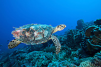 Hawskbill Sea Turtle cruises the reef<br /> <br /> Shot in Indonesia