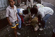 France. Marseille. preparation for the sheep sacrifice during the Aid Muslim feast in  cite Bellevue  in the center of the city  Marseille  France    /préparation au sacrifice du mouton pour la fête musulmane de l Aid;cite Bellevue dans le centre de   Marseille  France  /R00015/9    L2819  /  P0004013
