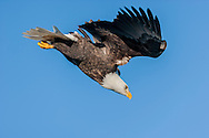 Bald eagle in flight, diving to build up speed, clear sky background, © 2005 David A. Ponton