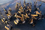 USA, Vereinigte Staaten von Amerika: Braunpelikan (Pelecanus occidentalis), neugierige Gruppe am Strand wartet auf Futter, Indian Shores, Florida, USA. | USA, United States of America, Florida, Indian Shores: A group of curious Brown Pelicans (Pelecanus occidentalis) is waiting for feed. |