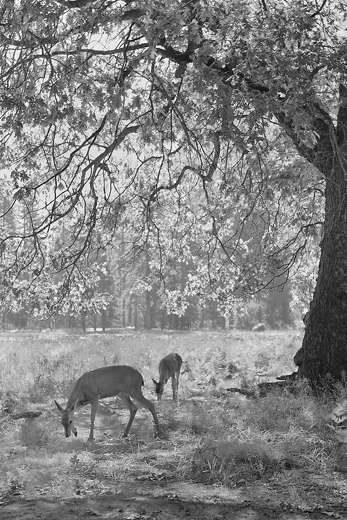 Grazing Deer Under Oak Tree - Yosemite Valley - Black & White