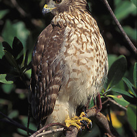 Juvenile Red-shouldered hawk. Ding Darling National Wildlife refuge, Florida.