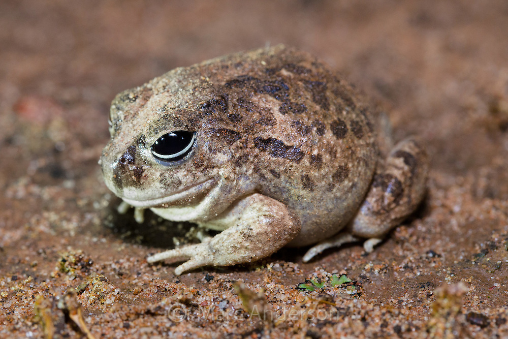 Ornate Burrowing Frog (Platyplectrum ornatum), Queensland, Australia