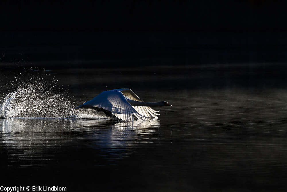 Mute swan lifts off in the morning light.