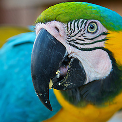 A head shot of a Blue and Gold Macaw parrot.