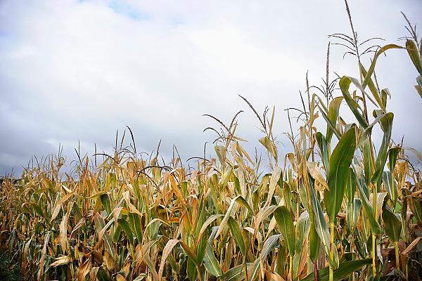 Nederland, Ubbergen, 21-10-2010Rijpe mais aan de stengel.Foto: Flip Franssen/Hollandse Hoogte
