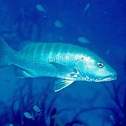 Cubera Snapper inhabit deep reefs, usually below 60 feet, in Tropical West Atlantic; picture taken Roatan, Honduras.
