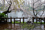 Cherry blossoms at Inokashira park. Tokyo, Japan