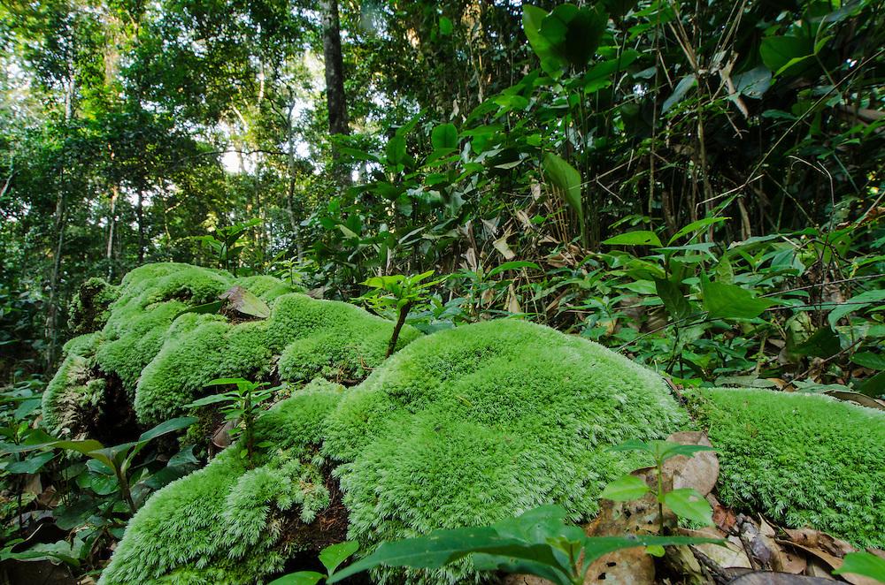 Rain forest understory<br /> Odzala - Kokoua National Park<br /> Republic of Congo (Congo - Brazzaville)<br /> AFRICA