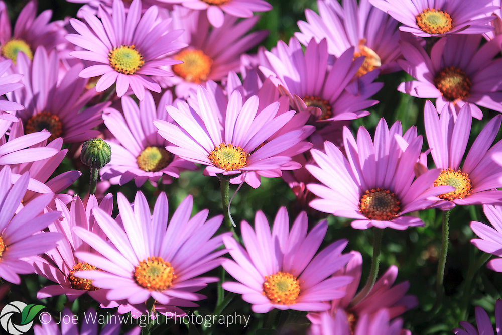 An osteospermum in bloom - the plant is alternatively called the African Daisy,  South African Daisy or Cape Daisy.
