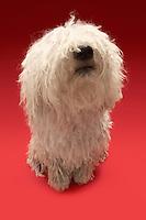 Cute Komondor dog on red background