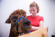 19253Kristin Stover, researching chewing in alpacas and horses, and her advisor, Dr. Susan Williams, they are both working at the Ohio University farm..Kristin Stover(red shirt)