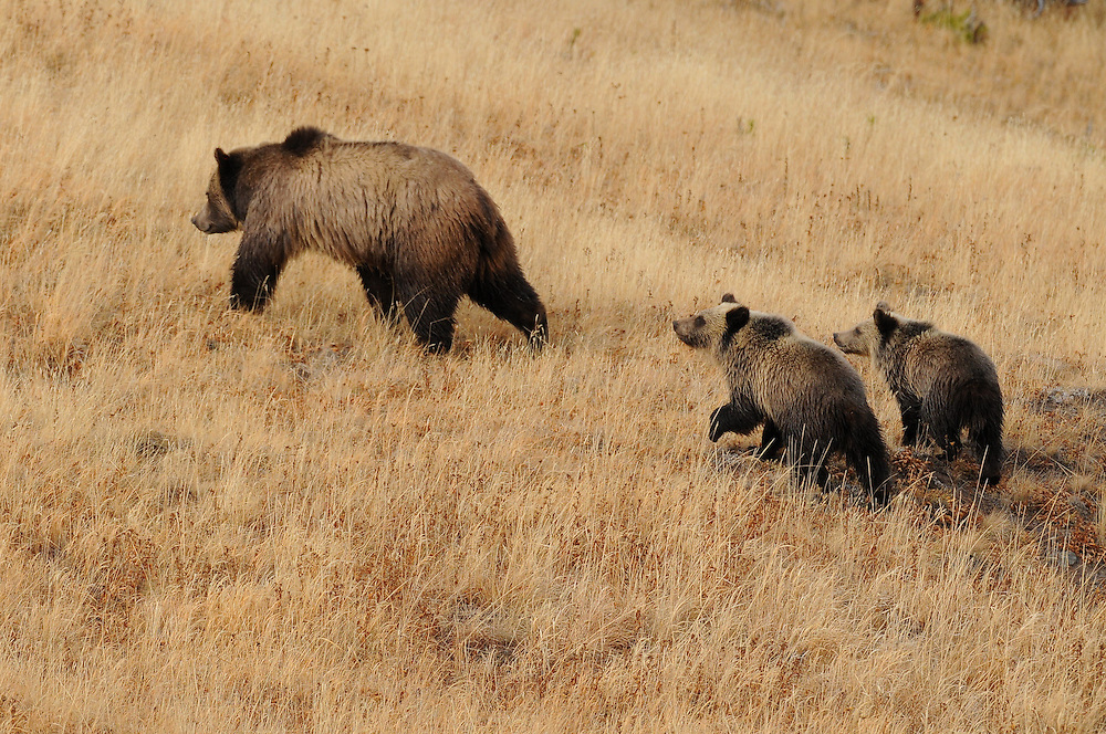 Once they leave their den in spring, grizzly bear cubs are seldom more than a few hundred feet from their mother. Even though female bears are excellent mothers, most cubs don't survive to adulthood. A number of factors, in particular adult male grizzlies, affect a cubs ability to survive its first few years of life.