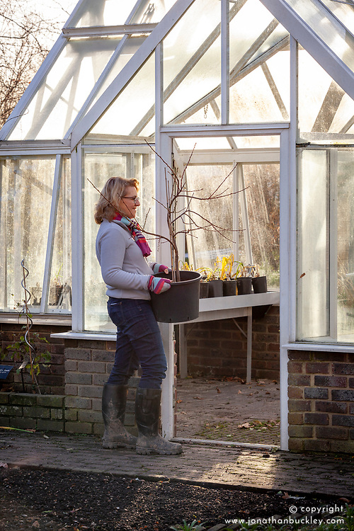 Bringing a container grown peach tree into a greenhouse to overwinter - Prunus persica