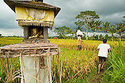 Apr. 22 - UBUD, BALI, INDONESIA:  People walk out of a rice paddy and past a Hindu shrine in Ubud, Bali. Rice is an integral part of the Balinese culture. The rituals of the cycle of planting, maintaining, irrigating, and harvesting rice enrich the cultural life of Bali beyond a single staple can ever hope to do. Despite the importance of rice, Bali does not produce enough rice for its own needs and imports rice from nearby Thailand.   Photo by Jack Kurtz/ZUMA Press.