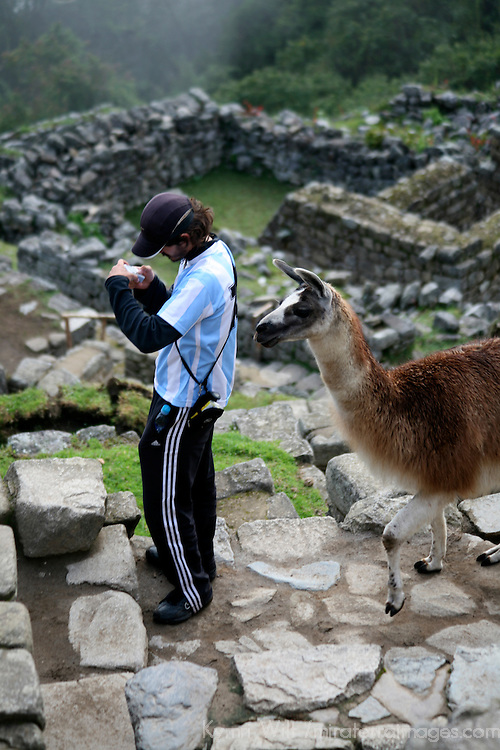 South America, Peru, Machu Picchu. Llama sneaks up on unsuspecting tourist at Machu Picchu.