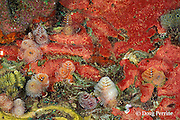 Christmas tree tube worms, Spirobranchus giganteus, and encrusting sponges, St. Vincent or Saint Vincent, West Indies ( Eastern Caribbean Sea )