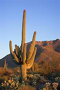 Giant Saguaro Cactus at sunset, Saguaro National Park, West Unit, near Tucson, Arizona.