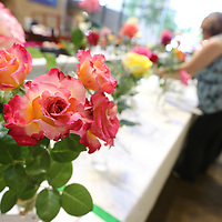 """A """"Dick Clark"""" rose waits to be judged at Thursday's annual Rose show held at Renasant Bank downtown Tupelo."""
