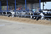 Cows at a Dairy farm Photographed in Israel, Arava, Moshav Paran