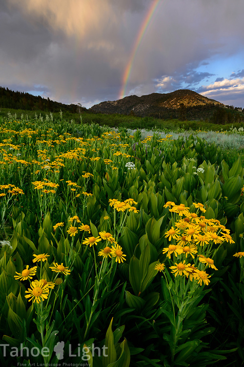 A rainbow over arnica flowers with corn lilies in the background are part of the wildflower bloom in the Tahoe Meadows near Mt. Rose summit and Lake Tahoe