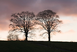 Silhouette of beech trees against a winter sunset.<br /> Part of sequence showing changes through the year. Lock off thirteen