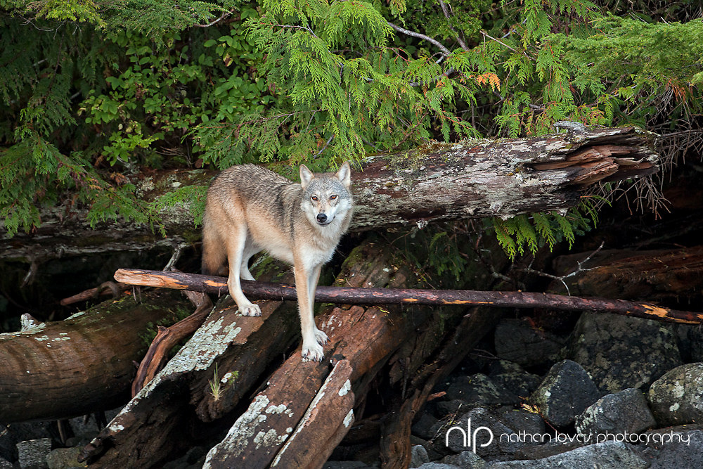 Gray Wolf (coastal) standing on fallen trees;  Rescue Bay, British Columbia in wild.