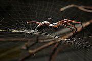 [captive] Female Golden Silk Orbweaver (Nephila clavipes). | Weibliche Goldene Radnetzspinne (Nephila clavipes).