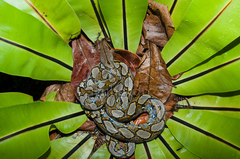 Juvenile reticulated python, Python reticulatus, at Tanjong Jara Resort, Terengganu, Peninsular Malaysia.