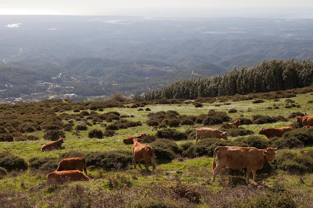 Portugal - TRAVEL - ALGARVE<br /> Blick vom Berg FOIA, View from the FOIA mountain; K&Uuml;HE, Cows; (VILA FOIA Guesthouse) Aktiv Urlaub in der Serra de Monchique, Algarve, Landscape, Landschaft, .2009; copyright &gt; Christian Jungeblodt