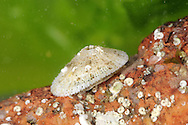 Common Keyhole Limpet - Diodora graeca