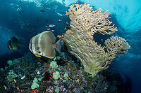 Long fin Spadefishes in the current amongst large hard coral formations.<br /> <br /> Shot in Indonesia