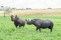 Black Rhino bull and cow, Nambiti Private Game Reserve, KwaZulu Natal, South Africa